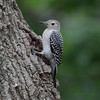 Red-bellied woodpecker, Melanerpes carolinus, juvenile