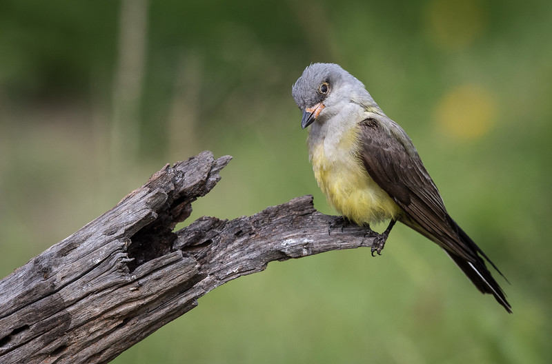 Couch's kingbird, Tyrannus couchii