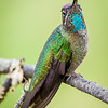 Fiery-throated hummingbird,  Panterpe insignis