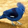 Great crowned pidgeon, Goura cristata