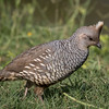 Scaled Quail, Callipepla squamata