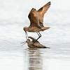 Marbled godwit, Limosa fedoa