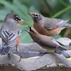 American robin, Turdus migratorious, and Cedar waxwing, Bombycilla cedrorum