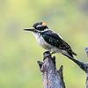 Hairy woodpecker, Leuconotopicus villosus