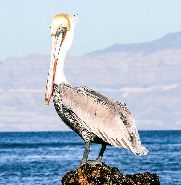 Brown pelican, Pelecanus occidentalis urinator