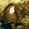 Damselfish, Dascyllus sp.