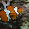 Clown fish, Amphiprion percula