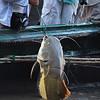 Redtail catfish, Phractocephalus hemioliopterus