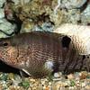 Belted Sand FishSerranus subligarius