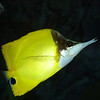 Longnosed Butterfly Fish, Forcipiger flavissimus