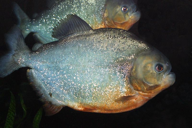 Piranha, Serrasalmus nattereri