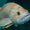 Canary Rockfish (Sebastes pinniger)