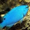 Blue DevilPomacentrus caeruleus