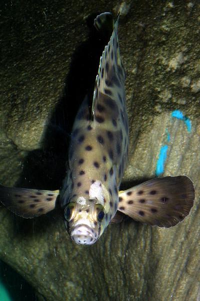 Polka-dot Grouper, Chromileptes altivelis