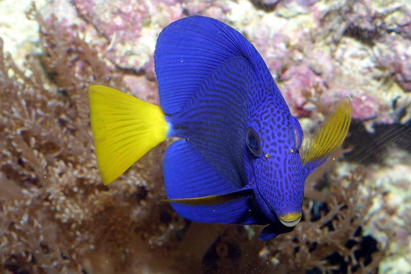 Purple Tang, Zebrasoma xanthurs