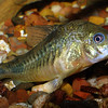 Blue-eyed Plecostomus, Panque suttoni