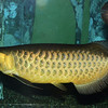 Asian Arowana, Sclerophees formosus