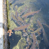 Fish Hatchery, Rainbox trout