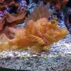 Weedy Scorpionfish, Rhinopias frondosa