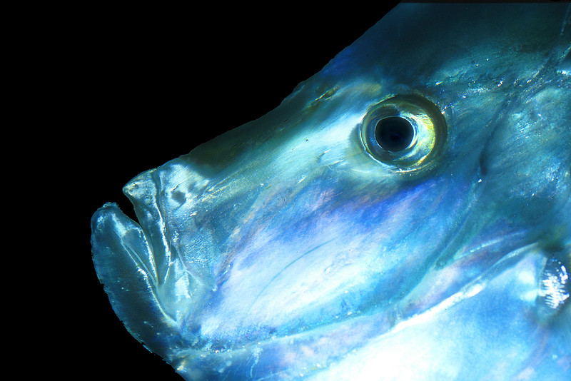 Lookdown fish, Selene vomer
