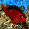 Flame Hawkfish, Brilliant Hawkfish, Neocirrhitus armatus