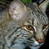 Bobcat,  Felis (Lynx) rufus