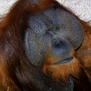 Bornean Orangutan,  Pongo pygmaeus pygmaeus