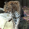 Persian Leopard, Panthera pardus (saxicolor)