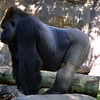 GorillaGorilla gorilla
