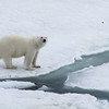 Polar bear, Ursus maritimus