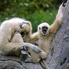 White-Handed Gibbon, Hylobates lar entelloides