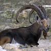 Nubian ibex, Capra ibex nubiana