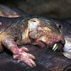Naked Mole Rats, Heterocephalus glaber