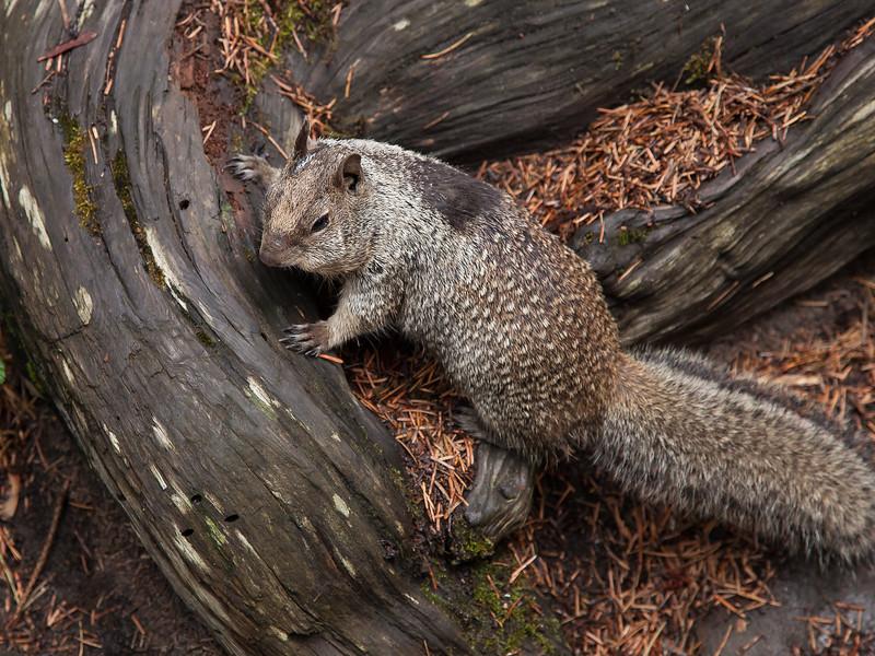 California Ground Squirrel,  Otospermophilus beecheyi