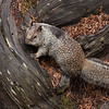California Ground Squirrel,  Otospermophilus beecheyi