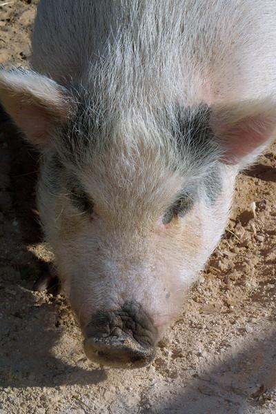 Hog, Porcinus sp.