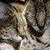 Serval, Felis serval