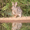 Eastern Cottontail Robbit, Sylvilagus floridanus  (could it be the desert cottontail?)