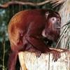Howler Monkey, Alouatta sp.