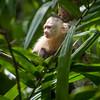 White Faced Capuchin, Cebus Capucinus