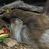 Sloth, Choloepus sp.