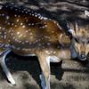 Axis Deer,  Axis axis