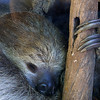 Sloth, Choloepus sp.