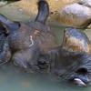 Greater One-horned Asian Rhinoceros, Rhinoceros unicornis