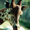 Giraffe,  Girafa camelopardalis