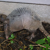 None-banded Armadillo, Dasypus novemcinctus