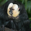 Pale-faced Saki male, Pithecia pithecia