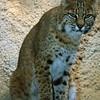 BobcatFelis (Lynx) rufus