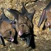 Short-tailed Fruit Bats, Carollia perspicillata