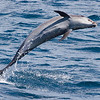 Bottlenose Dolphin, Tursiops truncatus